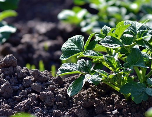 Workshop to help SA potato growers understand their soil's DNA