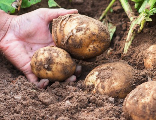 Levy-funded project navigates the wealth of potato soil health information