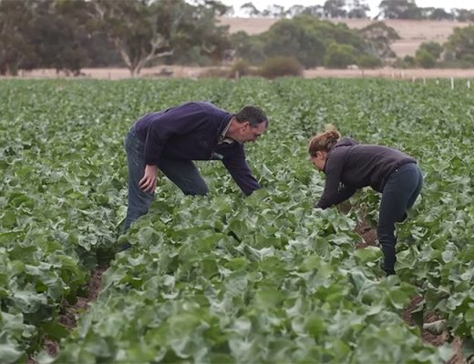 AUSVEG SA video showcases success of levy-funded IPM implementation in SA