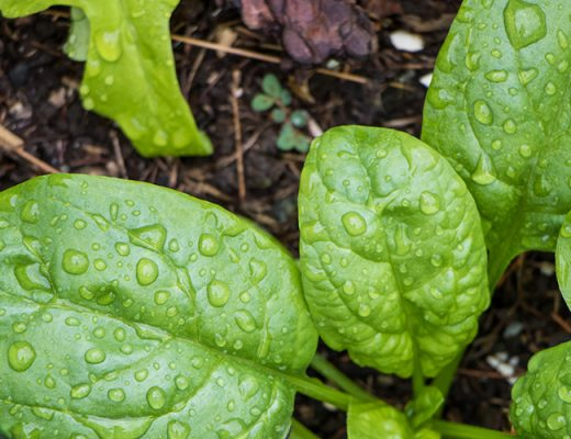 The impact of fungicides and biologicals on damping off in spinach: Trial report