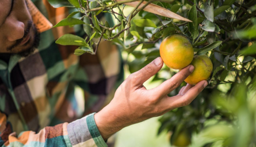 Labour plan will help fruit and vegetable growers supply fresh produce to Australians