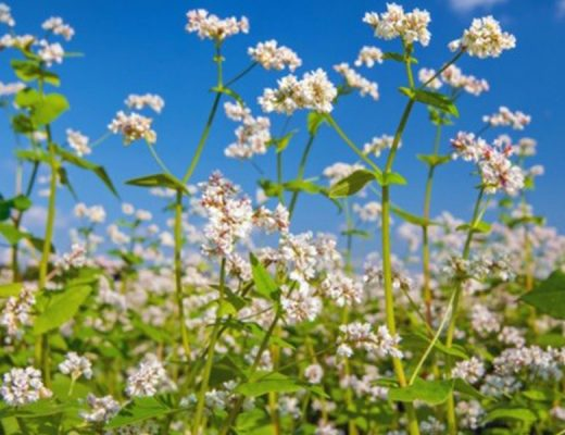 A3 Poster – Cover crops for Australian vegetable growers