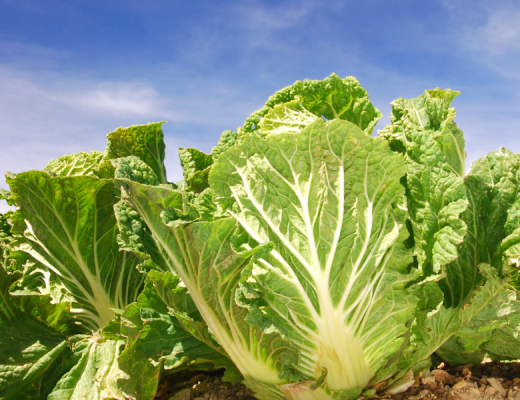 Advancements in integrated crop protection for profitable veg production
