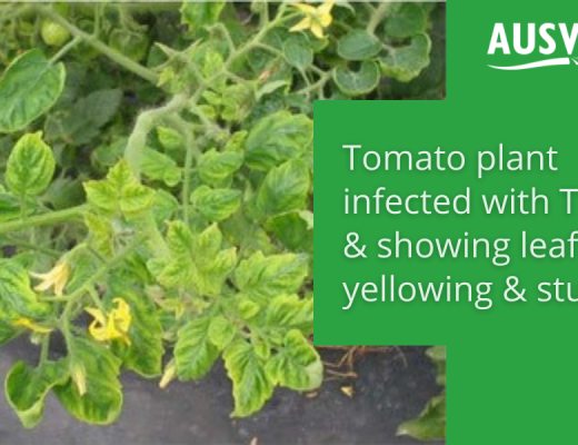 Industry notice: Updates on Tomato Yellow Leaf Curl Virus outbreaks