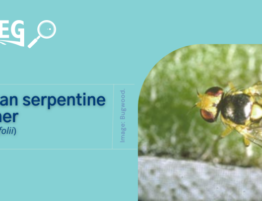 American serpentine leafminer has now been detected in Australia