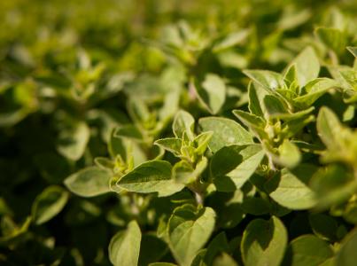 Vegetable Grower Success Stories 2018